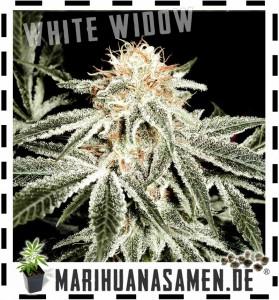 white widow hanfsamen